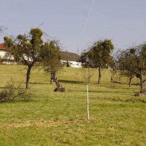 Streuobstwiese mit vielen Misteln in den Apfelbäumen.