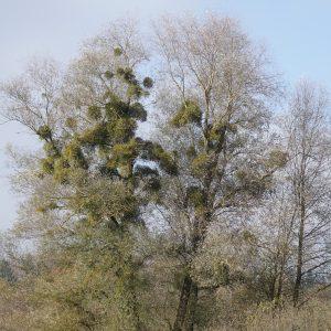 Große Linde mit zahlreichen Misteln in der Krone.