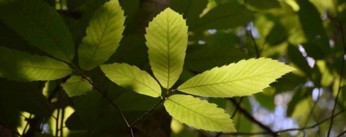 Blätter der Esskastanie