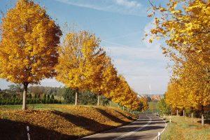 Alle aus Ahornen im gelben Herbstkleid an einer Straße