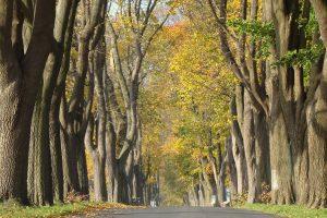 Straße gesäumt von alten Ahornen