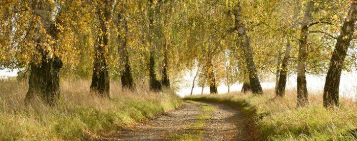 Birkenallee entlang eines Feldweges