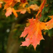 Rot-Gelbes Ahornblatt