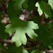 Grünes Blatt eines Feldahorns