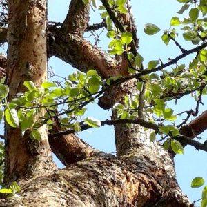 Frische, hellgrüne Blätter in der Krone eines Apfelbaumes