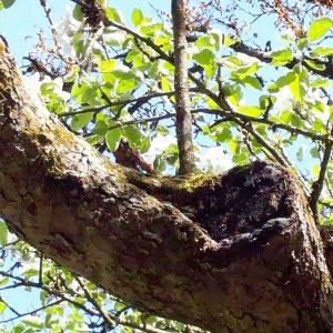 Fäule in der Krone des Baumes an einer Astwunde