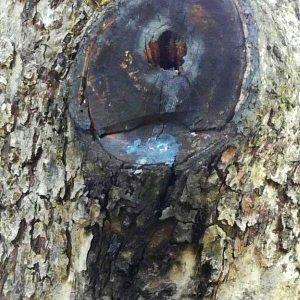 Astschnitt, der bereits schwarz verfärbt ist durch Fäule und ein Loch in der Mitte hat.
