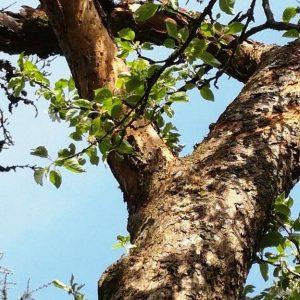 Moos entfernen am Apfelbaum – schädlich oder nicht?