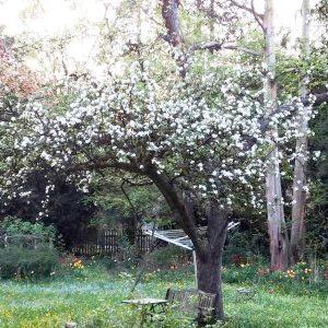 Apfelbaum mit vielen Blüten im unteren Kronenbereich, aber vielen Totästen im oberen Kronenbereich.