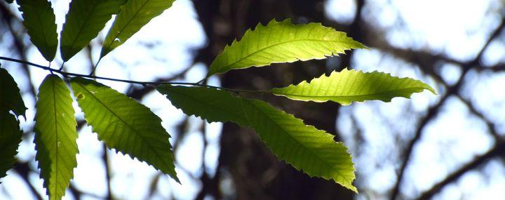 Zweig einer Esskastanie mit Blättern