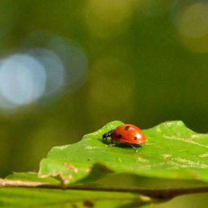 Roter Marienkäfer mit drei schwarzen Punkten auf einem Blatt
