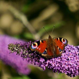 Tagpfauenauge auf der Blüte des Schmetterlingsstrauches