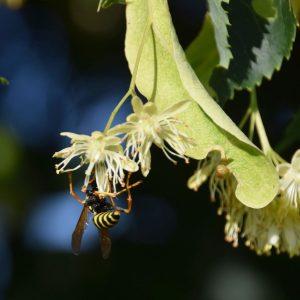 Wespe kopfüber an einer Lindenblüte