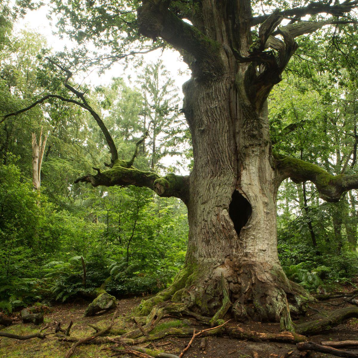 Denkmalgerechte Baumpflege an Altbäumen