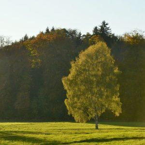 Birke mit grüner Krone im Morgenlicht auf einer Wiese.