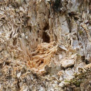 Weißfäule befallenes Holz