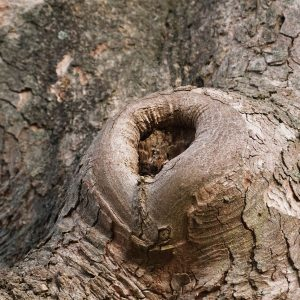 Wunde am Baum, die bereits zu 50% überwachsen ist.