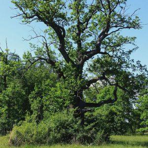 Alter Eichenbaum mit viel Totholz in der Krone.