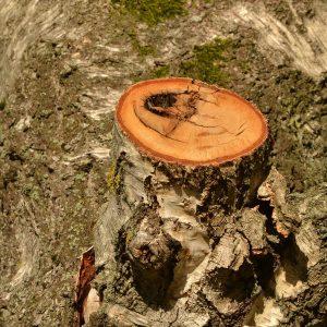 Pilzbefallene Schnittstelle, dunkle Linien zeichen die Abschottung des Baumes an.