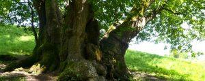 Dicker mehrstämmiger Stamm eines alten Baumes.