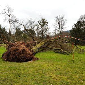 Umgefallener Baum auf einer Wiese. Im Vordergrund der Wurzelballen.