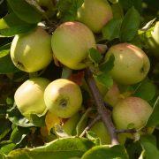Dutzende Äpfel an einem Zweig