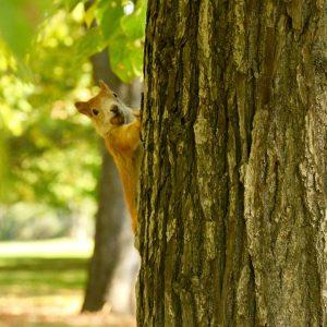 Eichhörnchen mit Nuss im Maul klettert einen Baumstamm hoch