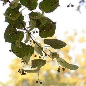 Zweig einer Linde mit vielen Früchten
