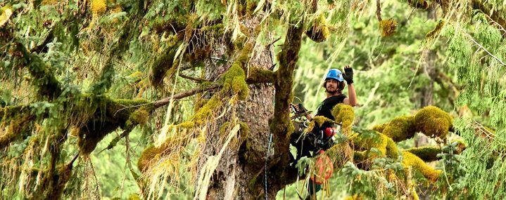 Baumketterer klettert einen riesiegen Baum hinauf