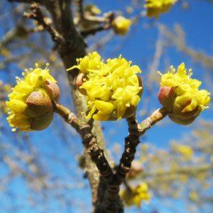 Gelbe Blüten der Kornelkirsche