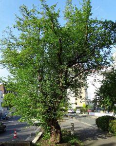 Uralte Kornelkirsche an der Straße in Nürnberg