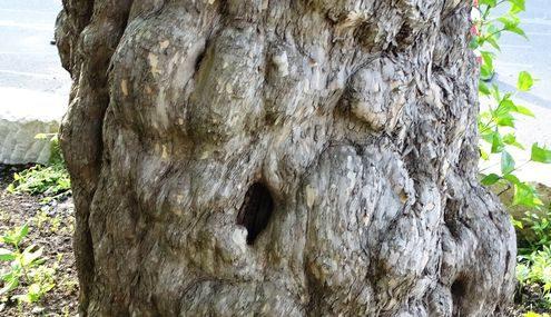 Knorriger Stamm einer Kornelkirsche