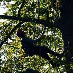 Kletterer und viele Seile in der Baumkrone.