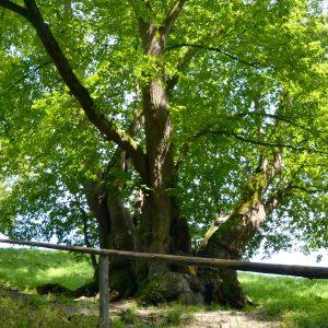 Alter Baum hinter einer Absperrung