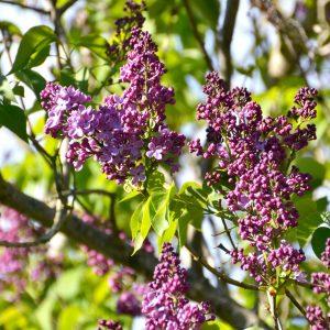 Violett blühender Flieder.