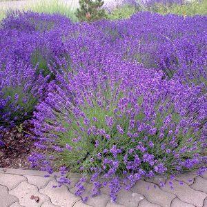 Lavendel in voller Blüte.
