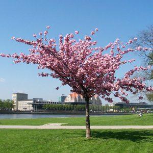 Rosa blühender Zierkirschen-Baum vor einer Stadt.