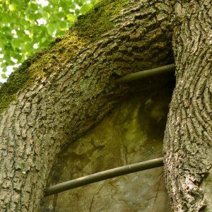 Zwei Gewindestangen in einer großen Stammwunde am Baum.