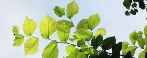 181109_Baum-des-Jahres-2019-Flatterulme-header