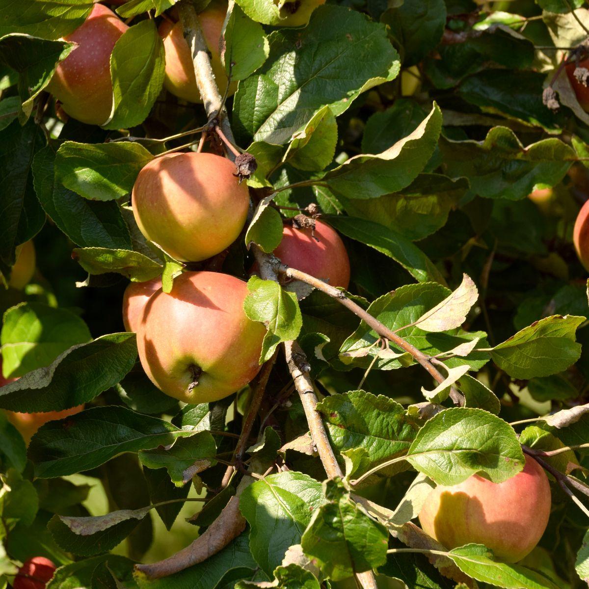 Gelb-rote Früchte des Apfelbaumes mit zahlreichen Blättern an einem Ast.