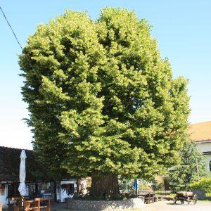 Europäischer Baum des Jahres 2019