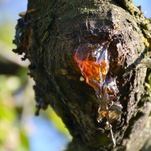 Harziger Ausfluss an Kirsche – die Gummiflusskrankheit