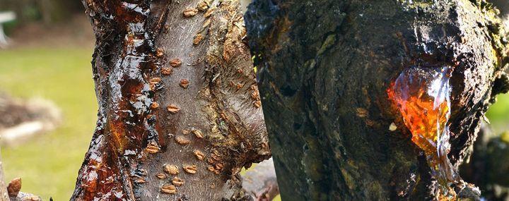 Harziger Ausfluss an Kirsche & Co – die Gummiflusskrankheit