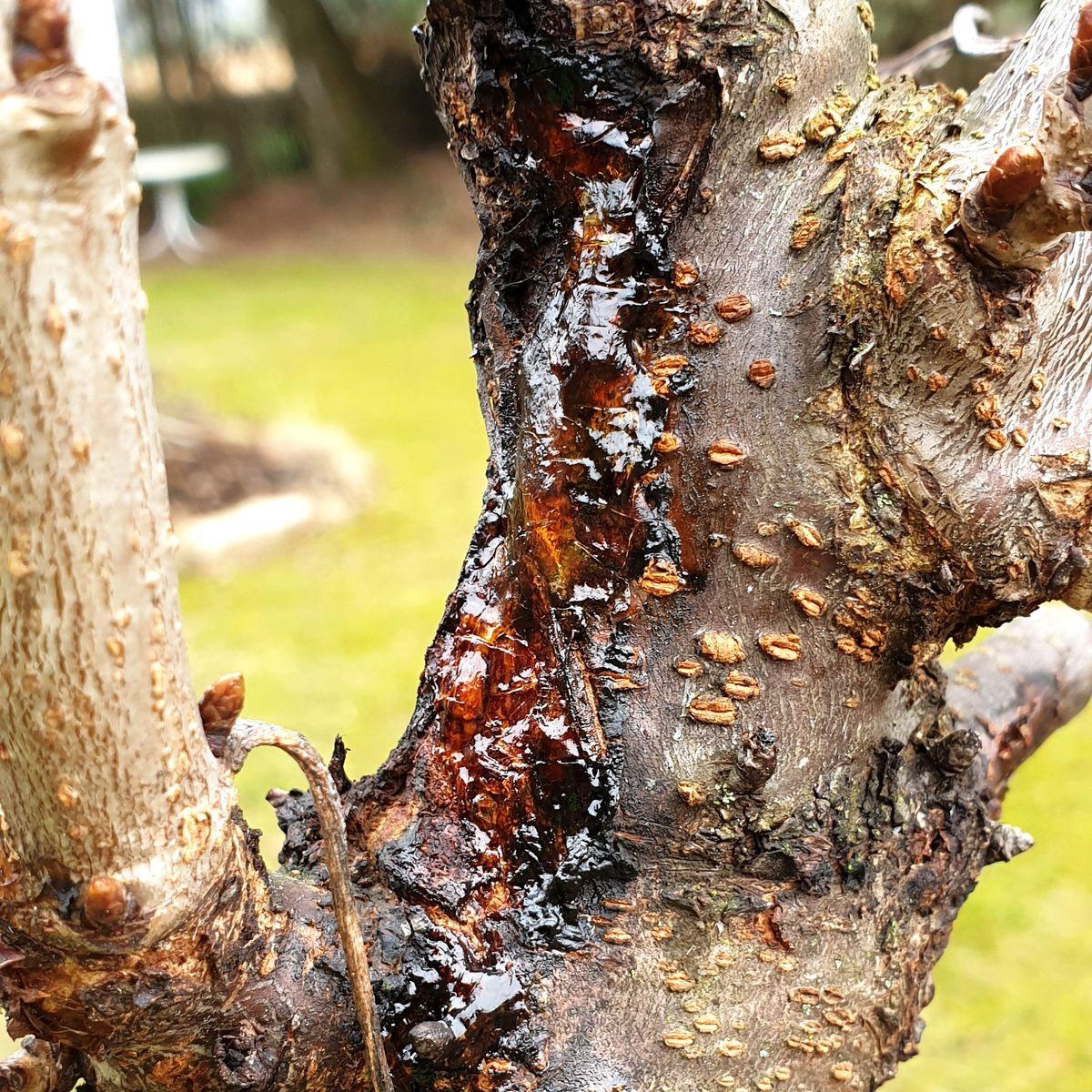 Rinde kirschbaum 8 Kirschbaum