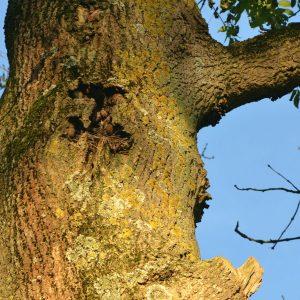 Loch im Stamm eines alten Baumes.