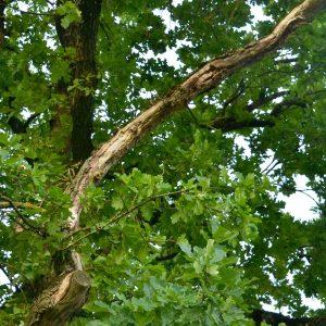 Ein Totast in der Baumkrone.