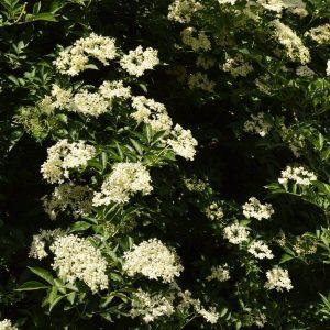 Welche Baum- und Straucharten eignen sich für Hecken?