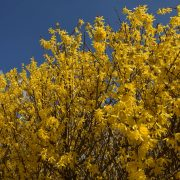 Gelbe Blüten der Forsythie vor blauem Himmel.