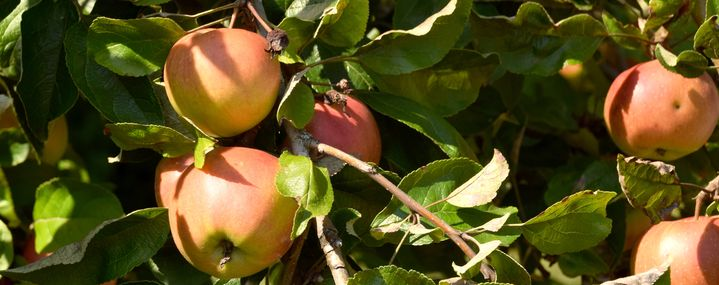 Gibt es Revitalisierung beim Obstbaumschnitt?