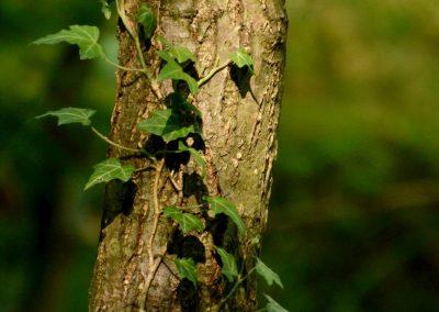 Grünes Wunder: Wunderpflanze Efeu